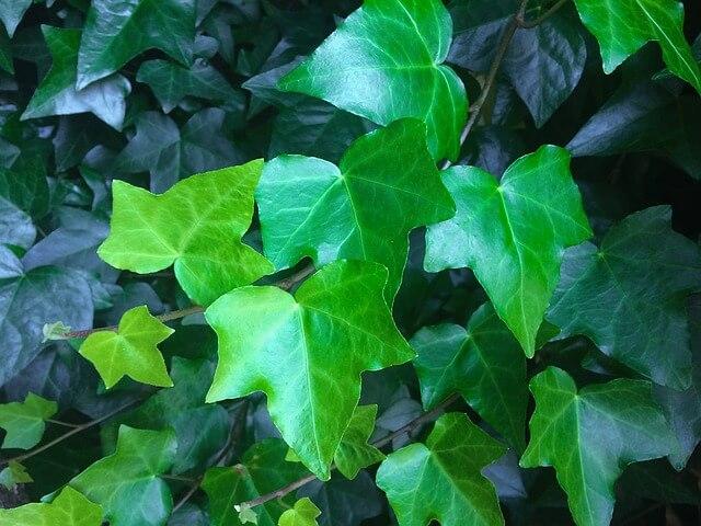 zdjęcie do artykułu rośliny trujące dla kota bluszcz