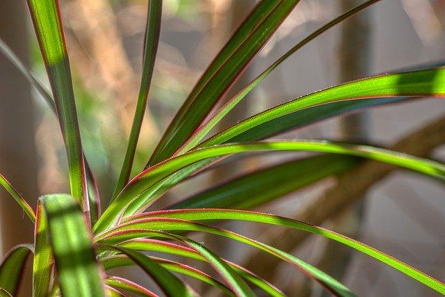 zdjęcie do artykułu rośliny trujące dla kota dracena