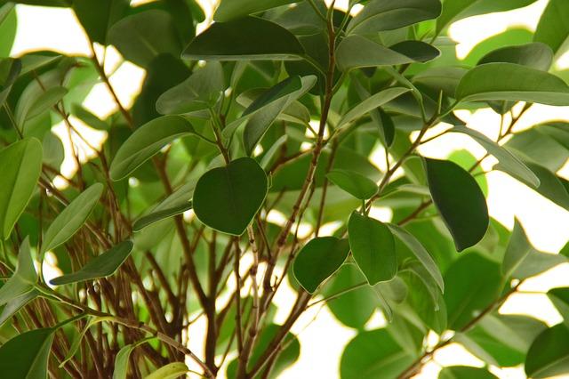 zdjęcie do artykułu rośliny trujące dla kota fikus