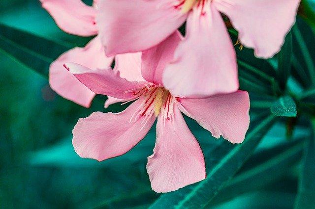 zdjęcie do artykułu rośliny trujące dla kota oleander