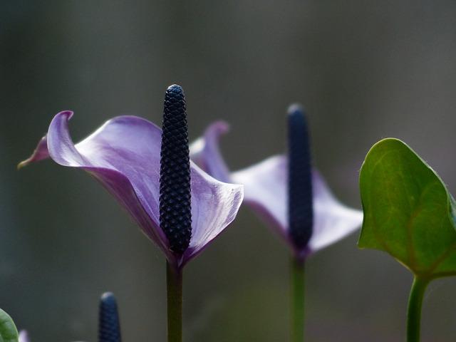 zdjęcie do artykułu rośliny trujące dla kota skrzydłokwiat